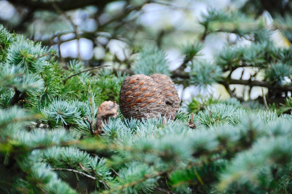 Cedar cone. by rosie00