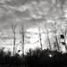 Dead Poplars...