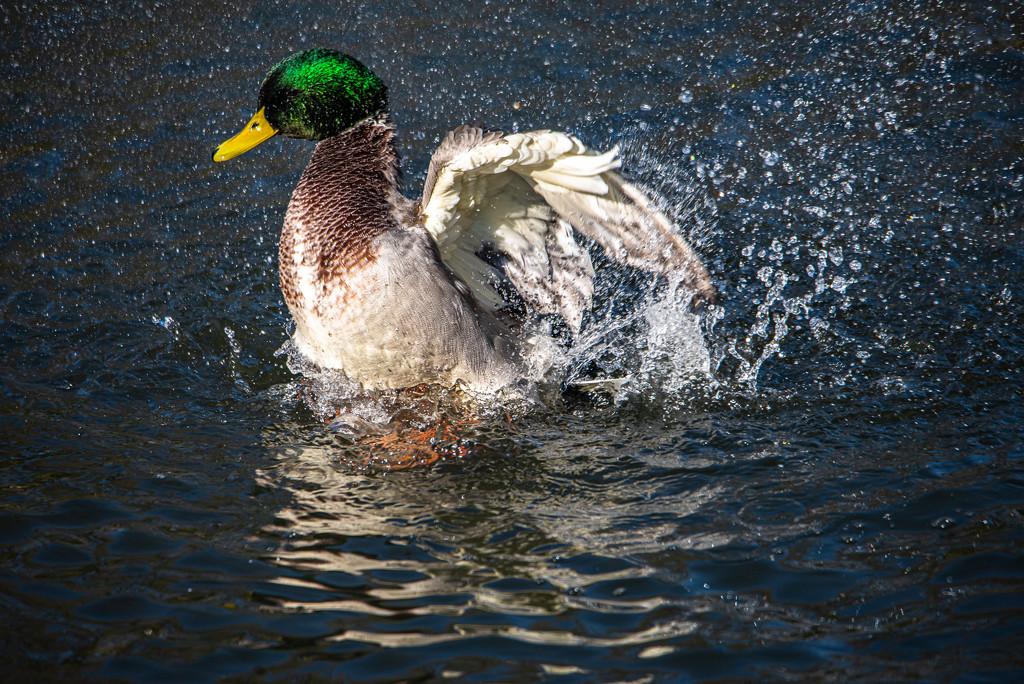 Duck Takes a Bath by taffy