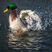 Duck Takes a Bath