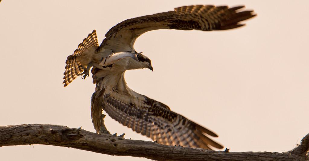More of Yesterdays Osprey! by rickster549