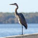 Blue Heron Basking in the Sun!