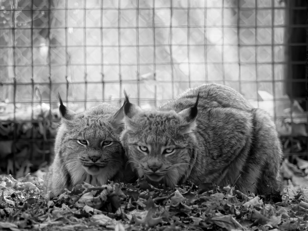lynx by northy