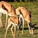 Springbuck family