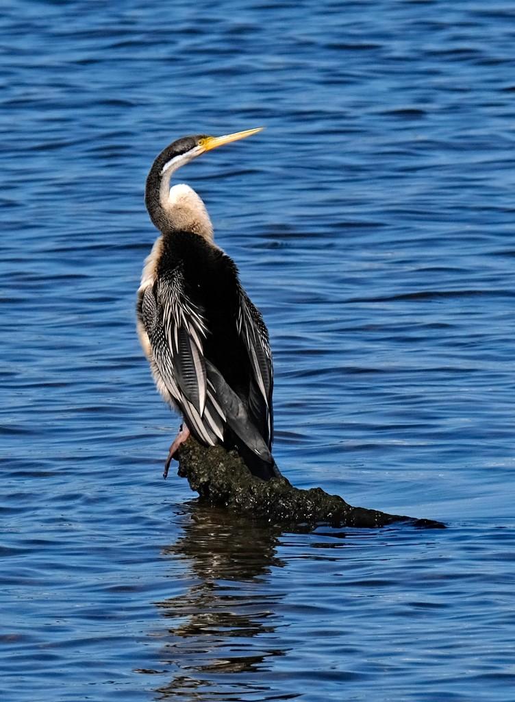 Resting darter (snakebird) Canning River Perth WA by maureenpp
