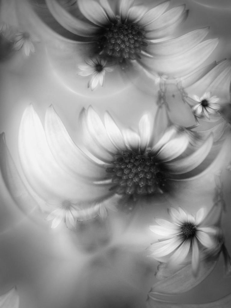 African  daisy  BW............ by ziggy77