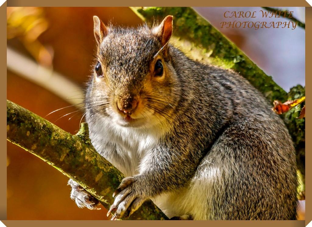 Friendly Squirrel by carolmw