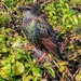 Starling in the hedge