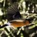 Bullfinch flying