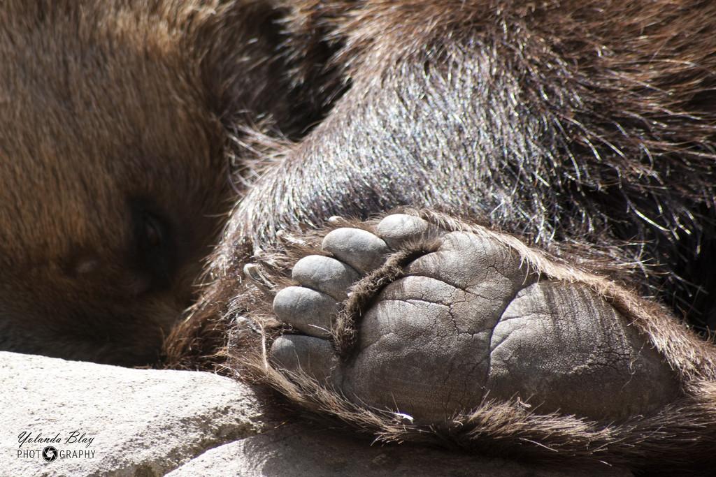Grizzly by yolanda
