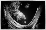 11th Nov 2019 - Shoshone Point Tree