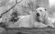 11th Nov 2019 - Polar Bear