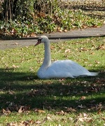 13th Nov 2019 - Swan