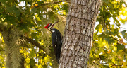 13th Nov 2019 - One More Pileated Woodpecker!
