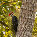One More Pileated Woodpecker!