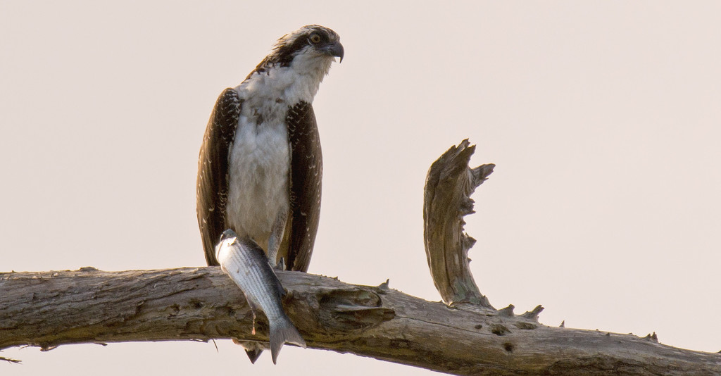 Last Shot of the Osprey! by rickster549