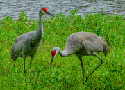 14th Nov 2019 - Sandhill cranes in Ocala