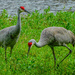 Sandhill cranes in Ocala