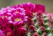 14th Nov 2019 - Flowering cacuts
