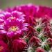 Flowering cacuts by yorkshirekiwi