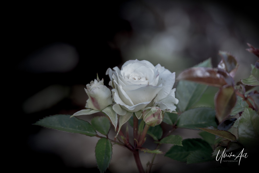 moody white by ulla