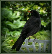 14th Nov 2019 - A very urban blackbird
