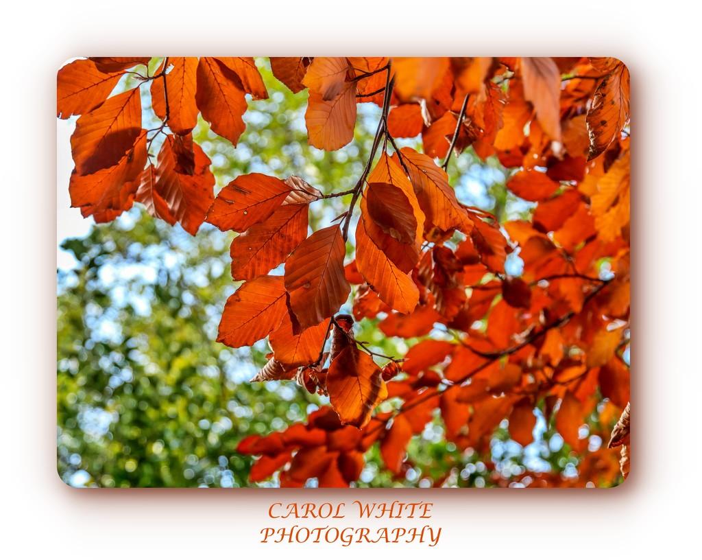 Beech Leaves In Autumn by carolmw