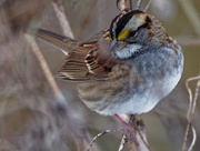 14th Nov 2019 - White-throated sparrow