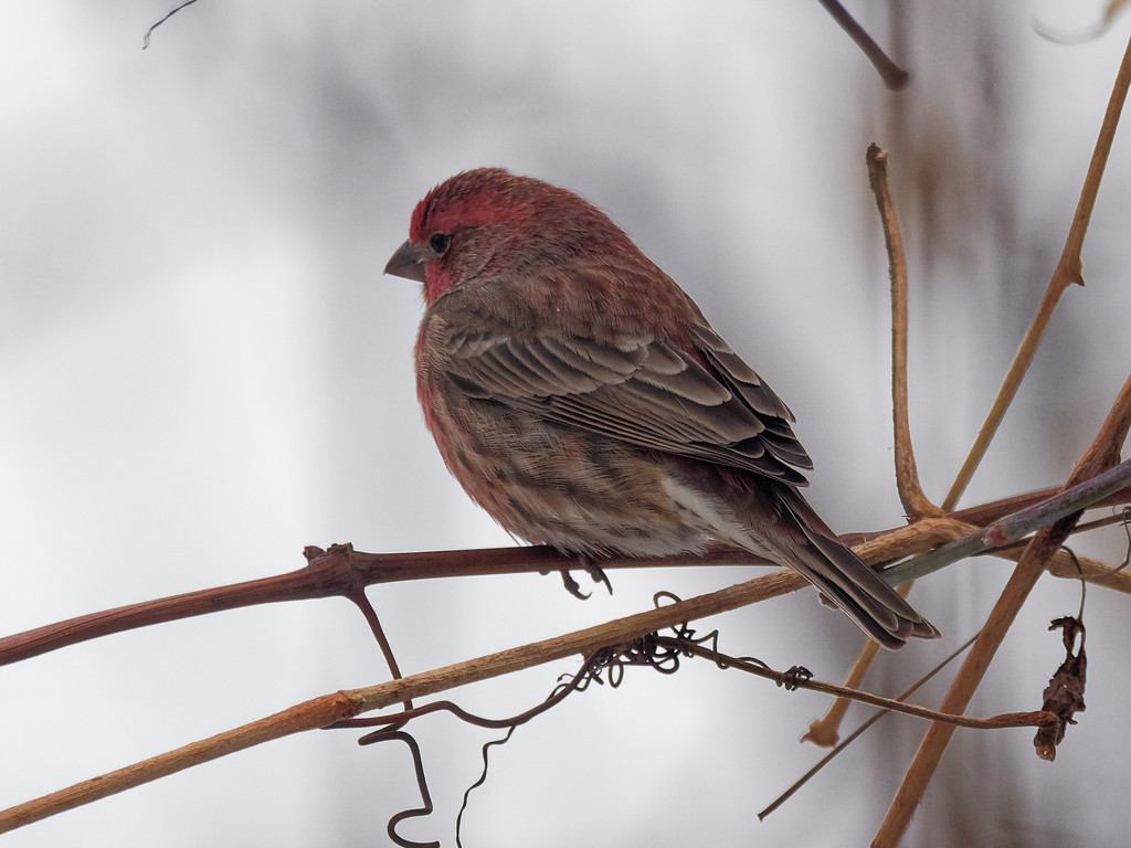 house finch by rminer