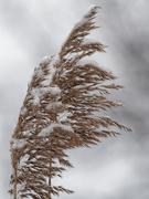 14th Nov 2019 - common reed