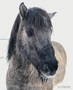 17th Apr 2019 - Icelandic Horesy