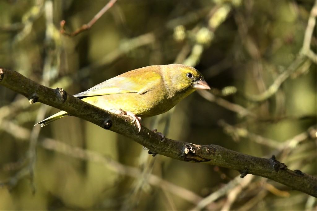 RK3_5558  Greenfinch by rosiekind