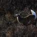 little buck whitetail