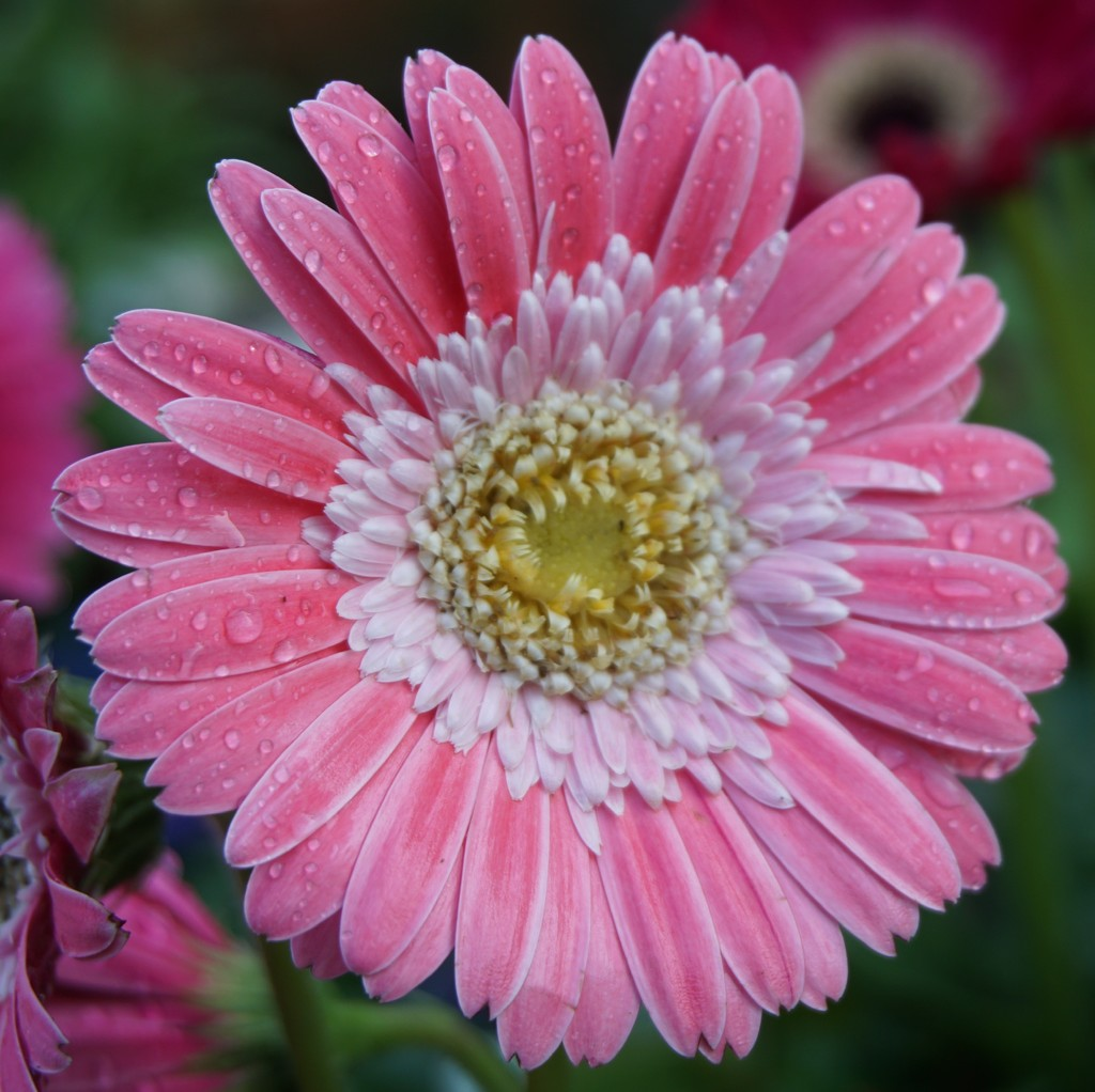 gerbera after rain by quietpurplehaze