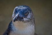 27th Apr 2019 - Little Penguin