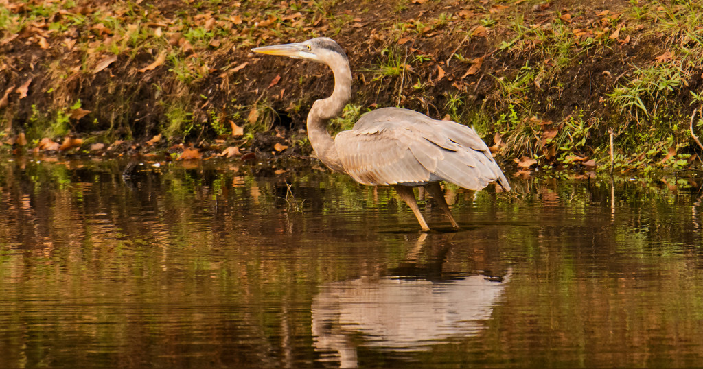 Blue Heron Stalking the Water! by rickster549