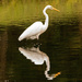 Egret and Reflection!