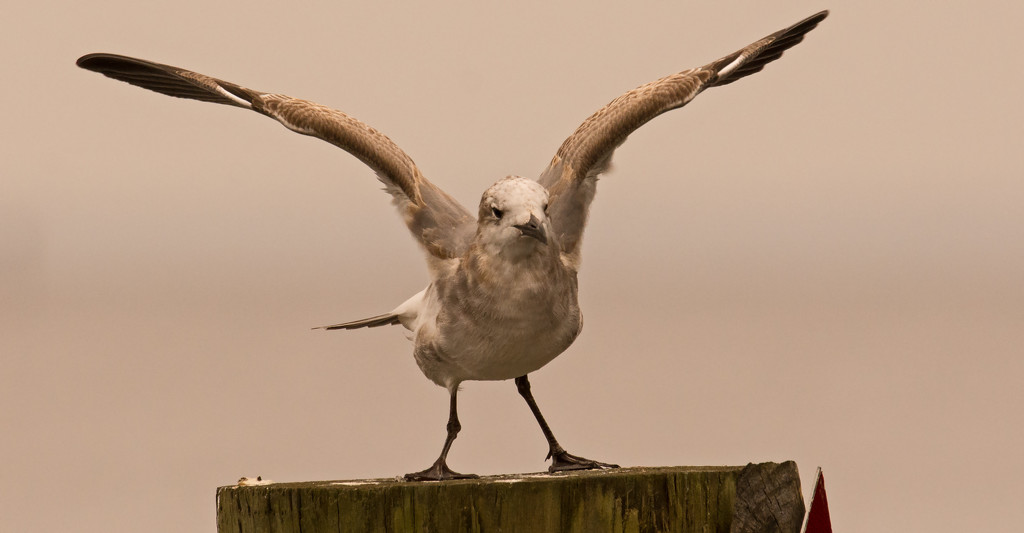 Seagull Stretching it's Wings! by rickster549