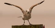 14th Nov 2019 - Seagull Stretching it's Wings!