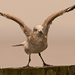 Seagull Stretching it's Wings!