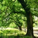 Fitzroy Gardens - Elms