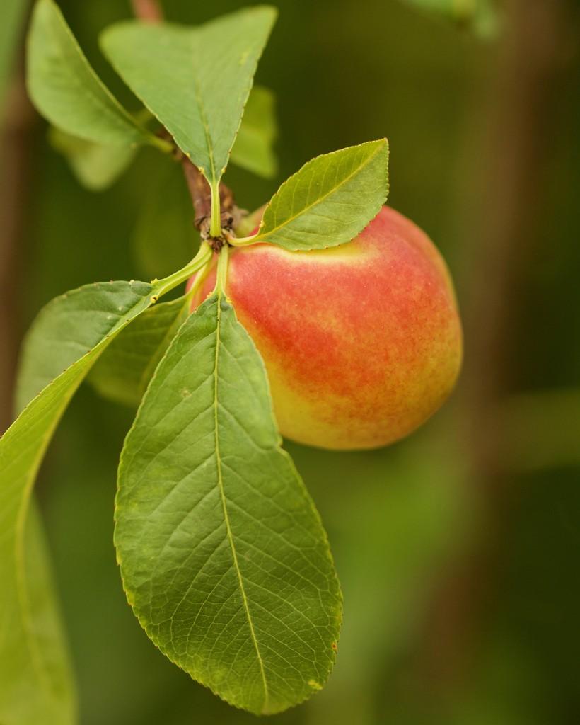 Summer Fruit ....._DSC8828 by merrelyn