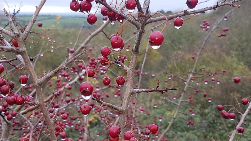 Hawthorn baubles by julienne1