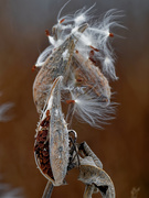 15th Nov 2019 - milkweed seeds
