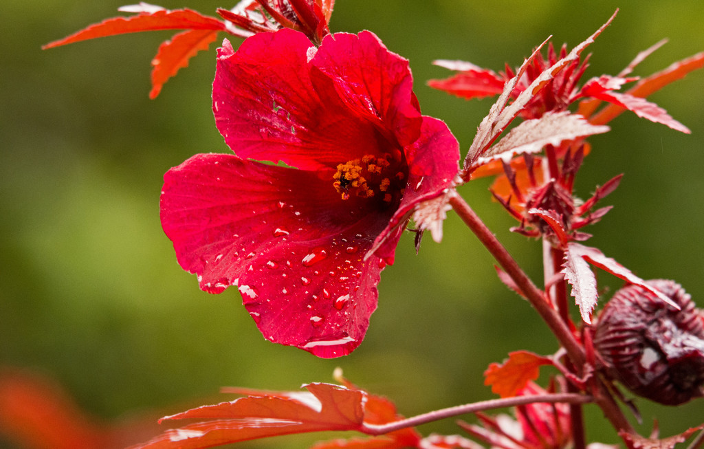 Red Flower, After the Rain! by rickster549