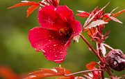 15th Nov 2019 - Red Flower, After the Rain!