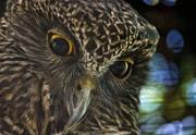 28th Apr 2019 - Powerful Owl