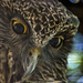 Powerful Owl by annied