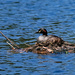 Australasian grebe - on a nest