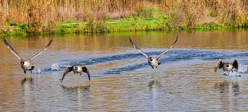 Geese. by tonygig